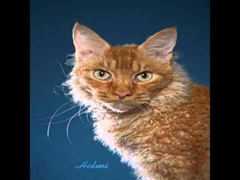 laperm cat photos