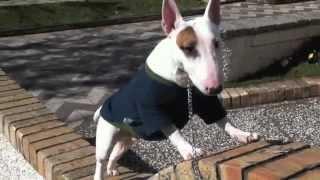 Bull Terrier Miniature (psycho)