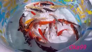 First Time Koi Pond Cleaning : Move My Koi Fish To The Kids Pool