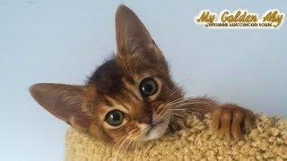 Здесь можно купить абиссинских котят