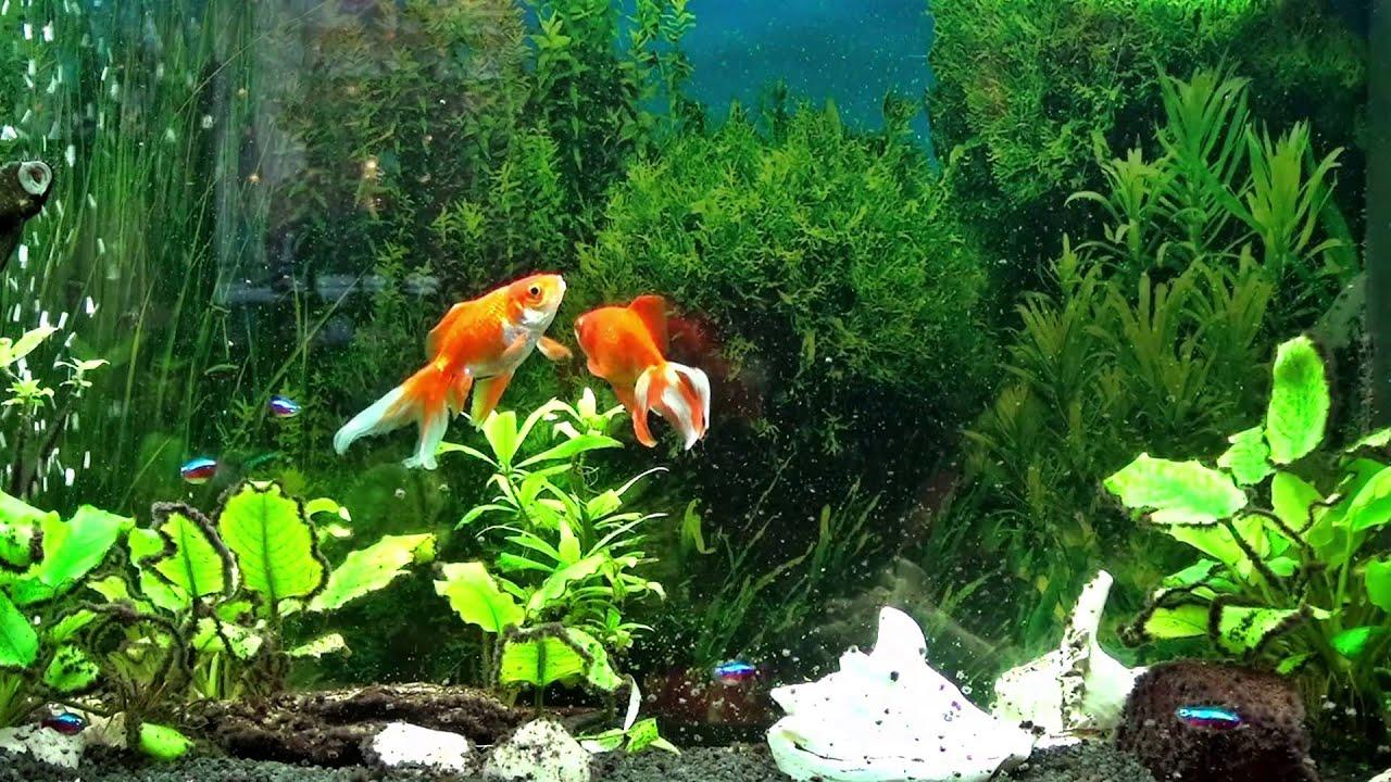 freshwater aquarium wallpaper hd wwwpixsharkcom