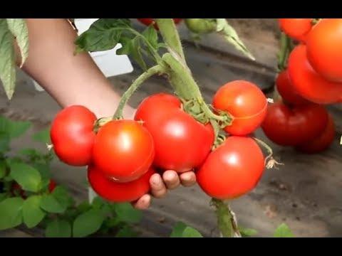 Вопрос: Как посадить семена томата суперприз?