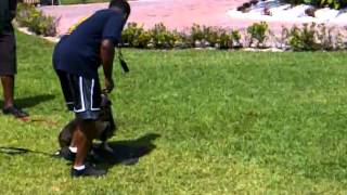 Bull Terrier With Dog Fighting Aggression Training Control
