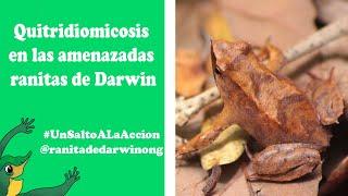 """Video proyecto """"Quitridiomicosis en las amenazadas ranitas de Darwin"""""""
