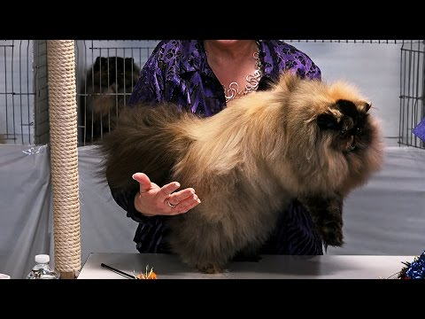 CFA World Show 2014, Persian Kittens, Purple Show set 2