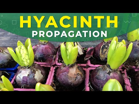 HYACINTH PROPAGATION FROM BULBS | Care for the plant