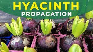 hyacinth propagation