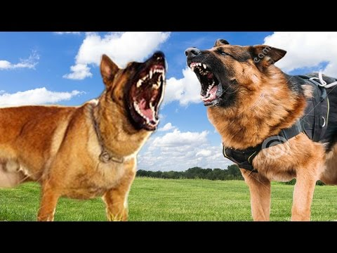 belgian-malinois-vs-german-shepherd---dog-comparison-k9