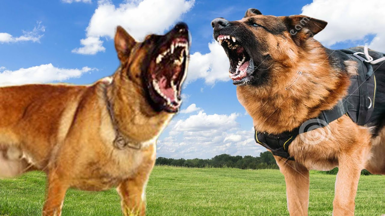 german shepherd belgian malinois belgian malinois vs german shepherd dog comparison k9 1501