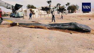 Muere un cachalote en Murcia con 29 kilos de plástico en su estómago