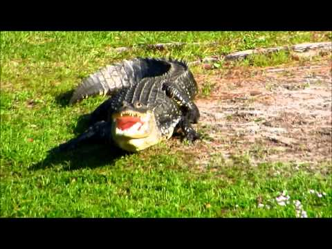 Alligator Drama with Open Jaws & Sneak Attack Sea Pines Hilton Head Island