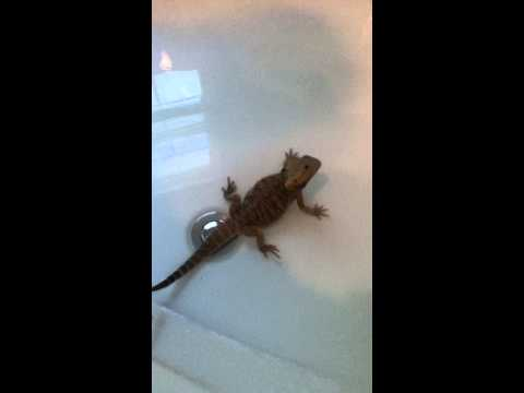 lizard in bath farts