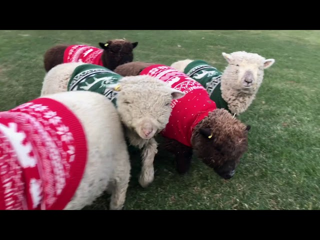 Adorable Babydoll Sheep in Christmas Sweaters!