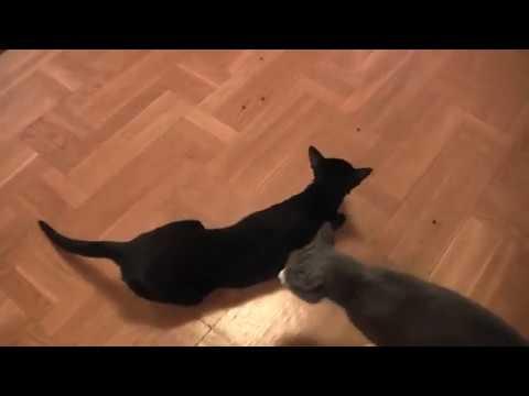 Oriental Cat Foul Theeth