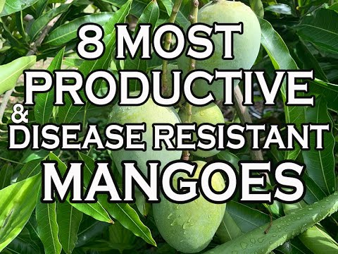 8 Most Productive & Disease Resistant Mangoes in our South Florida garden
