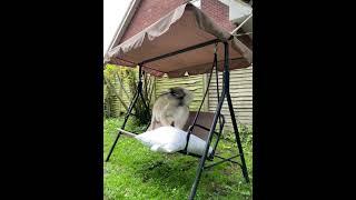 Husky Loses Balance and Panics Dismounting the Swing