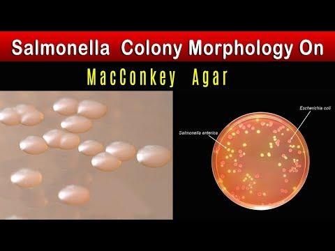 Salmonella Colony Morphology  On MacConkey Agar