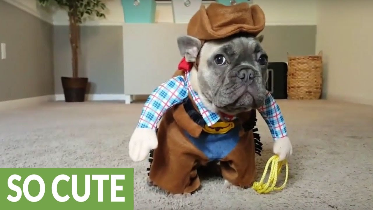 French Bulldog Puppy Dresses Up Like A Cowboy Youtube