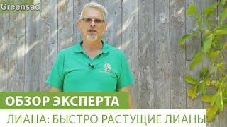 видео Девичий виноград посадка и уход, живая изгородь из семян