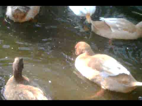 Feeding Enrichment for Domestic Ducks