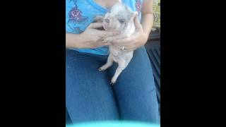 Baby a teacup pig is such a little lover