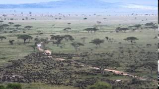 The wildebeest migration arrives in Seronera - Part 2