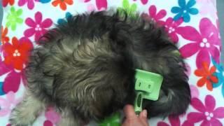 Slicker Brush Unboxing & Demo - Shih Tzu Rescue Puppy - Moxy 14 Weeks