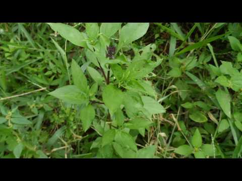 13 most common herbs in Ghana