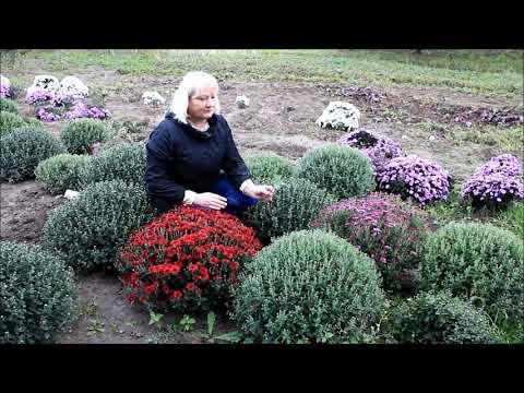 Особенности выращивания шаровидной хризантемы