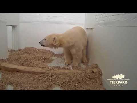 Kleiner Eisbär im Tierpark Berlin öffnet zum ersten Mal seine Augen