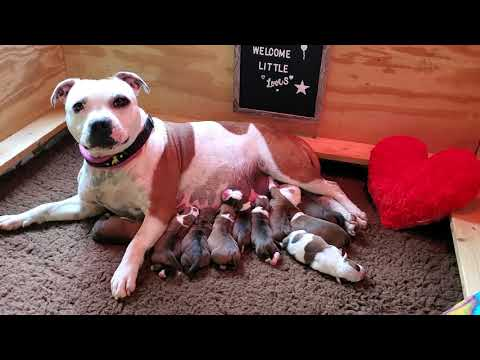 AKC Staffordshire Bull Terrier Puppies, 12 hours old
