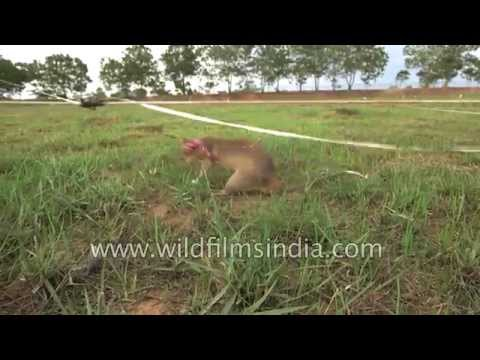 Using rats to search for land mines in Cambodia : Innovative idea