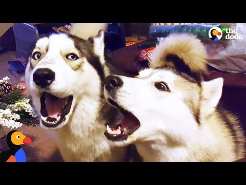 Husky Dogs Howling and Singing Compilation | The Dodo