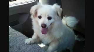 Chunky Monkey The Dog - Adopted! - Aka Snowball Aka Kody - Pekingese/toy American Eskimo Mix