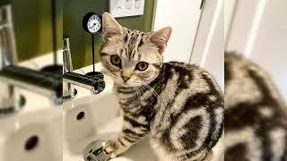 Gato americano de pelo corto o American shorthair. Pros y contras, precio, Cómo elegir, hechos