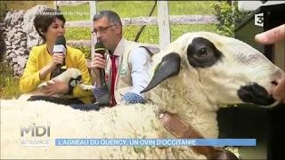 L'agneau du Quercy, un ovin d'occitanie