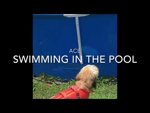 Wheaten Terrier Puppy Loves The Water