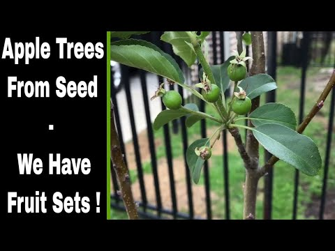 Growing Apple Trees From Seeds - We Have Fruit Sets!