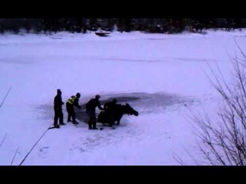 Moose Rescue Island Park, Idaho
