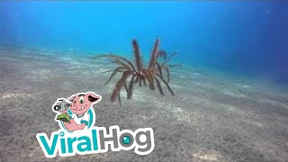 "Amazing Free Swimming Feather Starfish ""Crinoid"" Dances on Ocean Floor 