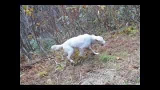 15歳のシニアイングリッシュセターが、猟場散歩を毎日1時間弱づつ続...