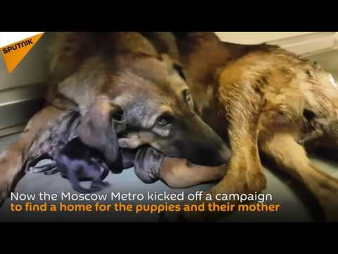Pregnant dog delays Moscow metro train by giving birth