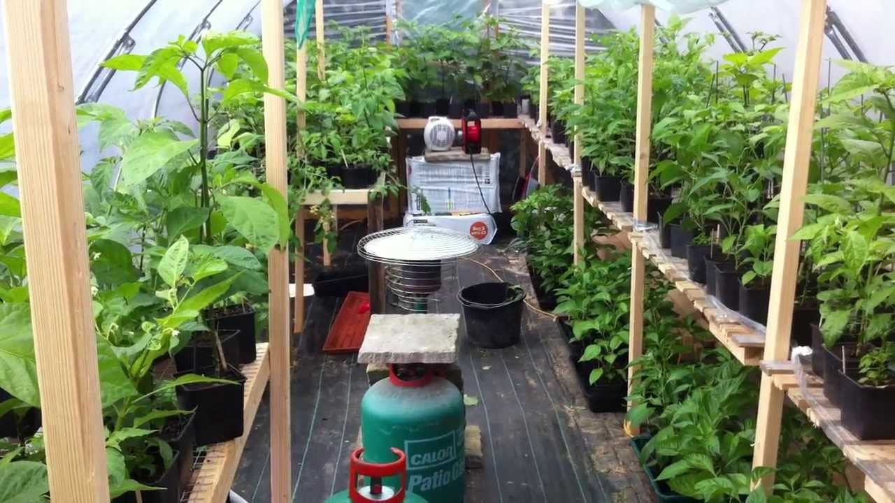 My Chilli Grow 2013 Video Update Polytunnel Tour 29th