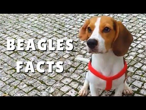 Beagles - Interesting Facts History