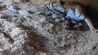 Tiger cubs at ZSL Whipsnade Zoo