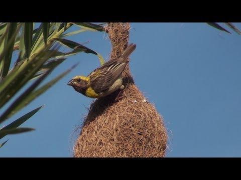 Baya weaver : The king of nest building birds