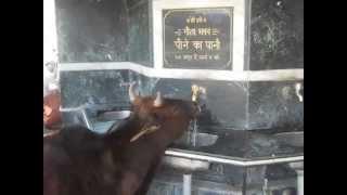 Cow Drinking Water At Gita Bhawan ,Swargashram, Rishikesh