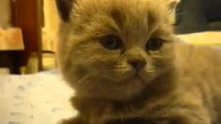 Котенок мгновенно засыпает / Cute sleepy kitten