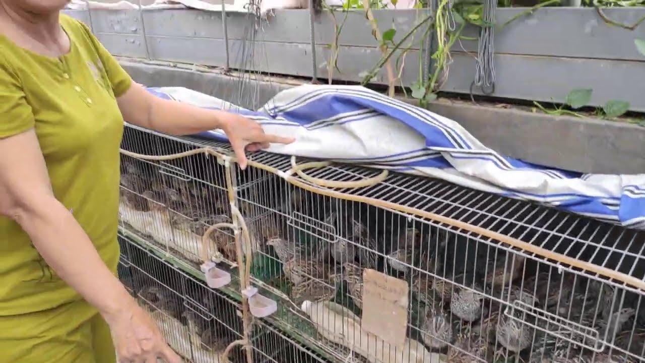 Chim cút thịt nhà em đang xuất bán  ĐT 0772933305