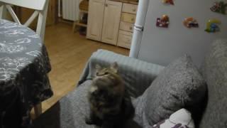 Сибирская кошка Новелла Из Одиссеи